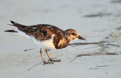 plażowy ptak Obraz Royalty Free