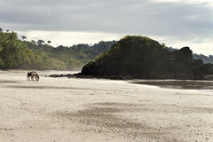 plażowych costa przodu koni samotny rica Fotografia Royalty Free
