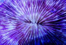Plaat (Fungia) koraal Royalty-vrije Stock Afbeelding