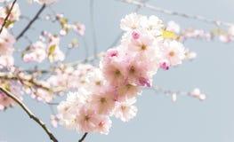 Plaats dicht samen kersenbloesems stock foto's
