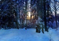 Plaatst het de winter boslandschap de avond de zon de sneeuwsparren royalty-vrije stock fotografie