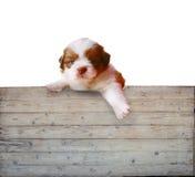 Placa de painel do cão e da madeira de cachorrinho de Shitzu Fotografia de Stock Royalty Free