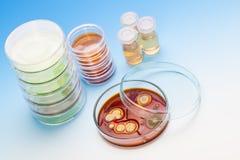 Placa de Petri con las colonias de microorganismos Foto de archivo