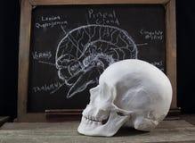 Placa e crânio velhos da anatomia imagens de stock