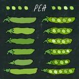 Placa preta Vagem de ervilha verde Bio alimento saudável do vegetariano Mão realística ilustração de alta qualidade tirada do vet ilustração royalty free
