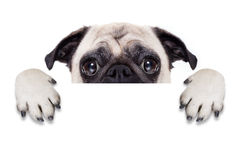 Placard banner dog. Pug dog behind blank white banner or placard royalty free stock image