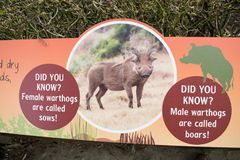 Placard of warthogs royalty free stock image