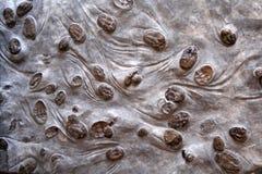 Placenta de Lancastria d'⢠de groupe de Trilobite Image stock