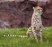 placera för cheetah Arkivbild