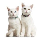 Placera för två vitt kattungar Arkivbilder