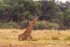 Placerad giraff Kenya Afrika Royaltyfria Bilder