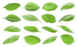 Placez avec les feuilles fraîches vertes de basilic image stock
