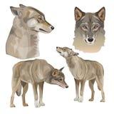 Placez des loups gris de vecteur illustration stock