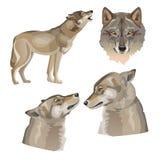 Placez des loups gris de vecteur illustration de vecteur