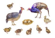 Placez des poules de Guinée ou des oiseaux galeeny de volaille Les illustrations d'aquarelle ont isolé photos stock