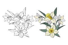 Placez du narcisse blanc de bouquet différent de fleurs, coloré et monochrome, d'isolement sur le fond blanc, vecteur illustration libre de droits
