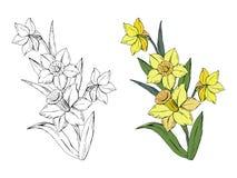 Placez du narcisse différent de bouquet de fleurs, coloré et monochrome, d'isolement sur le fond blanc, dirigez tiré par la main illustration libre de droits