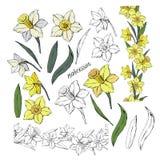 Placez du narcisse différent et des feuilles de fleurs, coloré et monochrome, d'isolement sur le vecteur blanc de fond tiré par l illustration stock