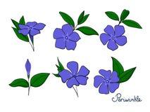Placez les éléments d'isolement du bigorneau fleurs, bourgeons et feuilles de vinca Photos stock