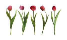 Placez les fleurs de tulipe illustration stock