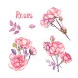 Placez les fleurs des roses roses, d'isolement sur le fond blanc Photos libres de droits