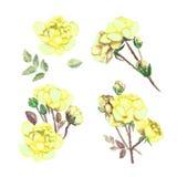 Placez les fleurs des roses jaunes, d'isolement sur le fond blanc Images stock