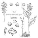 Placez tiré par la main des racines, des vies et des fleurs de safran des indes dans la couleur noire d'isolement sur le fond bla illustration stock