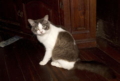 Placid brown and white bicolor tabby domestic pet cat on wooden floor Stock Images