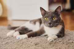 Free Placid Grey And White Cat Lying On The Floor Waiting To Be Fed And Looking Curiously At The Camera Stock Photography - 130792782