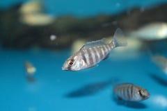 Placidochromis phenochilus aquarium fish Royalty Free Stock Photography