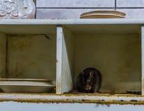 Plaga animal en una cocina sucia vieja, los parásitos de la rata y del ratón, problemas caseros comunes imagenes de archivo