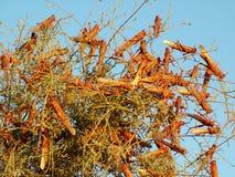 Plaga de langostas en la Tierra Santa foto de archivo libre de regalías