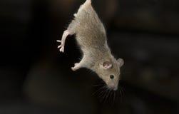 Plaga II de los ratones Fotografía de archivo libre de regalías