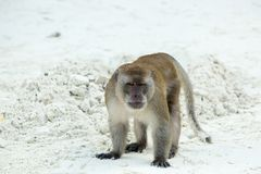 Plage agressive de singe Crabe-consommation du macaque, Phi-phi, Thaïlande Images stock