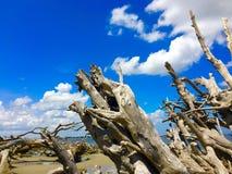 Plage de bois de flottage sur l'île de Jekyll, la Géorgie Image stock