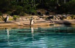 Plage de pingouin Image stock
