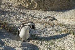 Plage de pingouins à Capetown Images stock