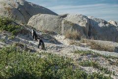 Plage de pingouins à Capetown Images libres de droits