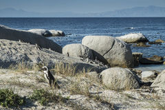 Plage de pingouins à Capetown Image libre de droits