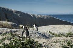 Plage de pingouins à Capetown Image stock