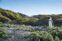 Plage de pingouins à Capetown Photo libre de droits