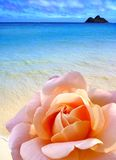 Plage de Rose Photographie stock libre de droits