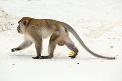 Plage de singe Crabe-consommation du macaque, Phi-phi, Thaïlande Image stock