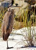 Plage la Floride Shell Island une de Panamá City de héron à jambes photographie stock