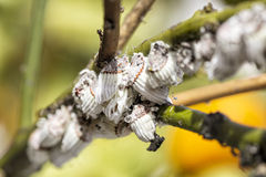 Plage mealybug Nahaufnahme auf dem Zitrusfruchtbaum lizenzfreie stockfotografie