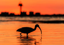 Plage rouge de silhouette d'oiseau de coucher du soleil Images libres de droits