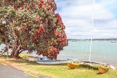 Plage traditionnelle d'été de kiwi avec l'arbre rouge fleurissant de Pohutukaka Image libre de droits