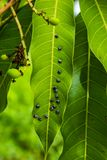 Plagen essen Mangoblätter stockfoto