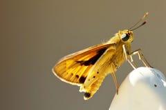 Plagiata de Tiger Moths - de Asota Foto de Stock