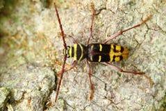 Plagionotus detritus. Beetle Plagionotus detritus on log Royalty Free Stock Photography